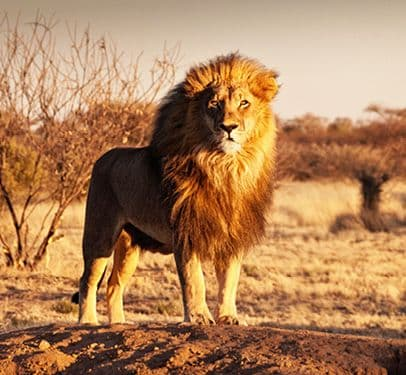 A lion travelling in a game park in Africa