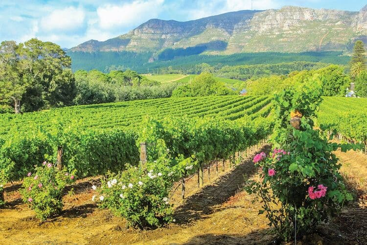 Rows of vines in Stellenbosh, Cape Wine Region, South Africa.
