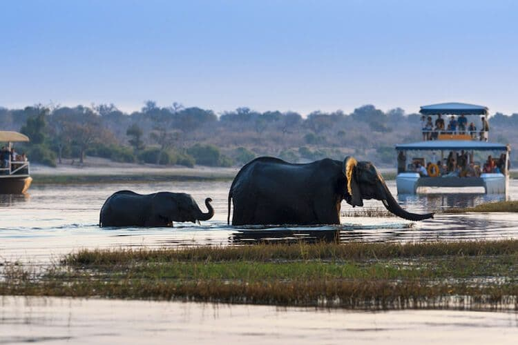 Elephants in the water of the Zambezi River near South Africa.
