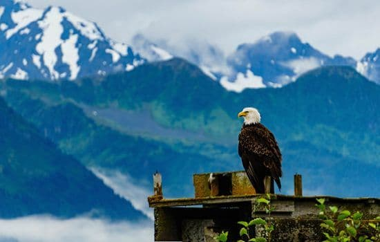 A bald eagle in front of mountains in Seward, Alaska