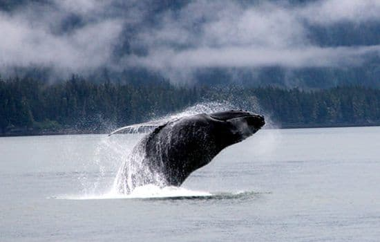 A whale jumping at Icy Strait to the Point Adolphus
