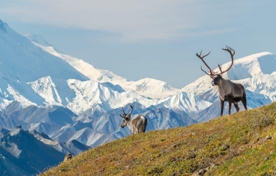 Moose in the Denali National Park