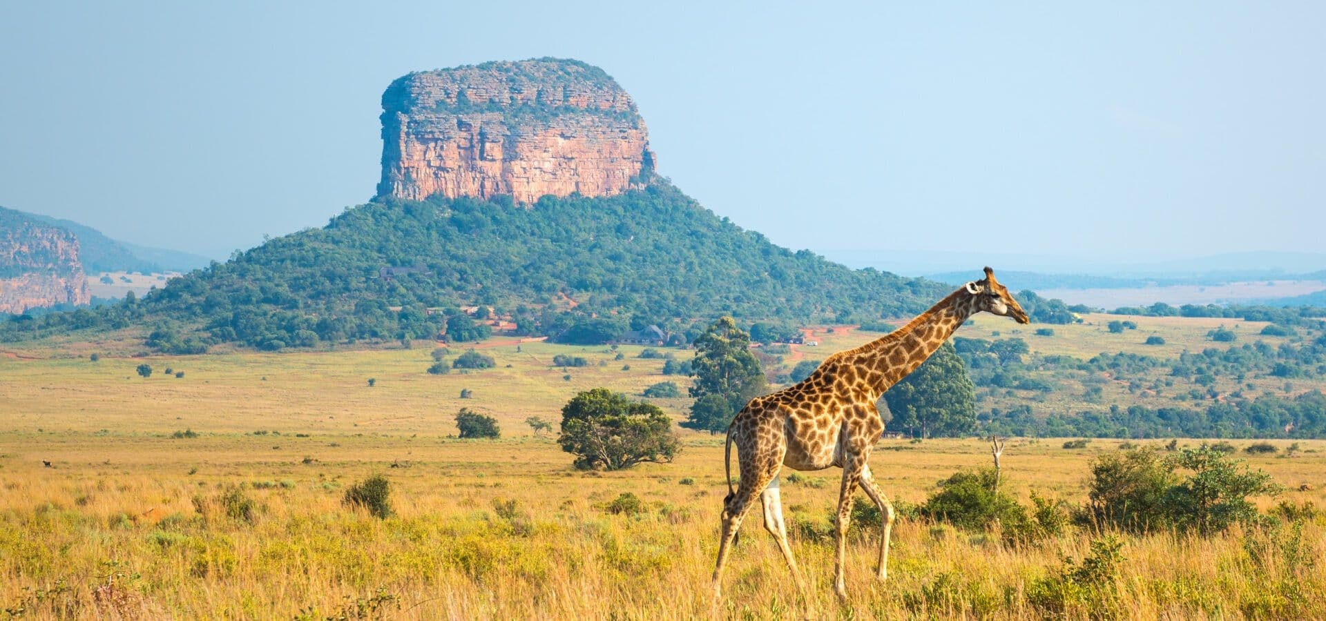 Giraffe travelling across the wild of South Africa travel africa