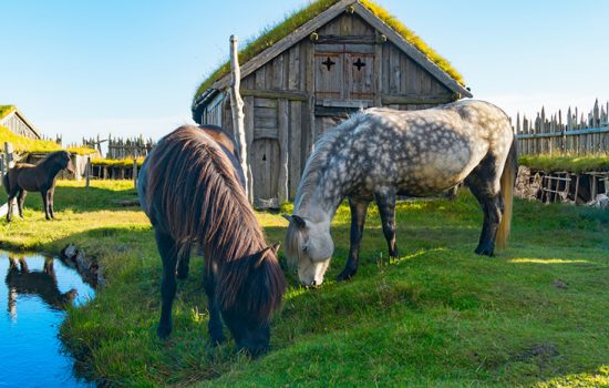 Horse and Viking History in Iceland