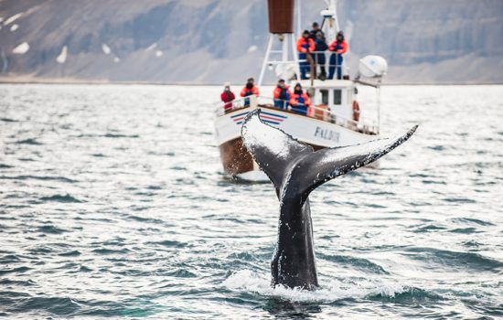 Whale watching in the waters off Iceland